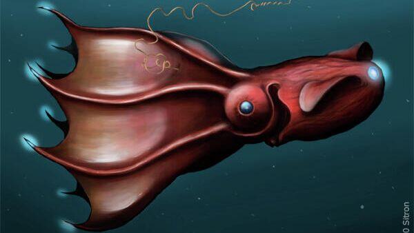 Адский кальмар-вампир Vampyroteuthis infernalis