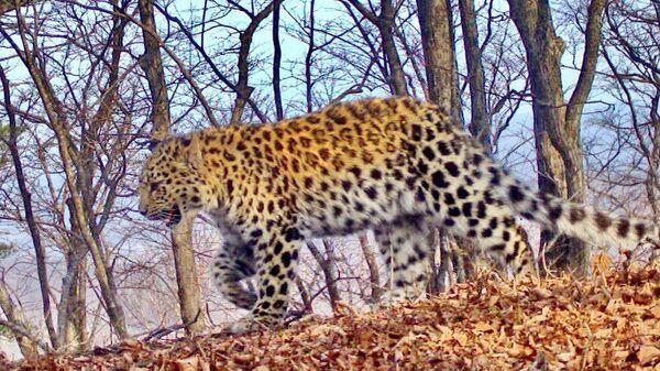 Самка дальневосточного леопарда по имени Борте в нацпарке Земля леопарда