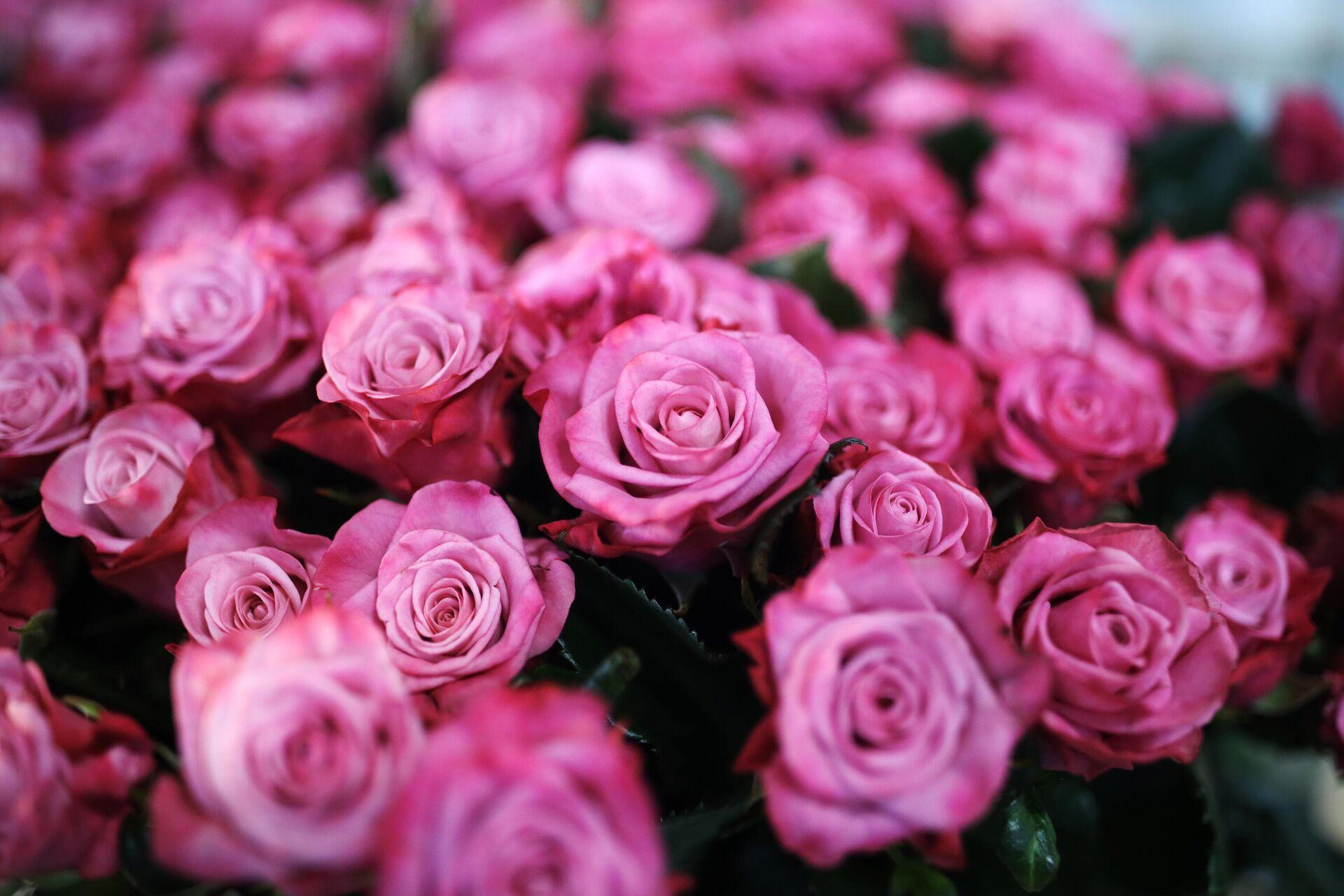 Розы, выращенные в тепличном комплексе Зелёный Дом - РИА Новости, 1920, 05.03.2021
