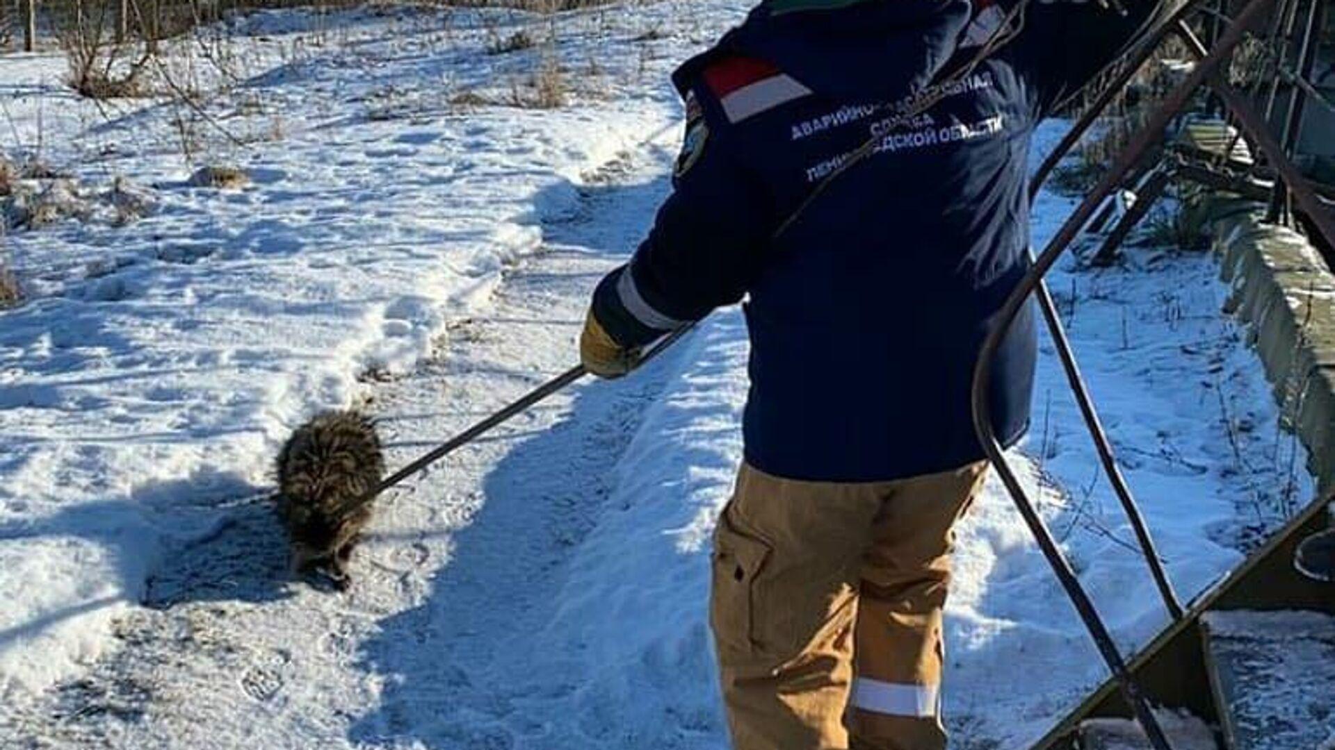 Спасение енотовидной собаки из очистных сооружений в Ленинградской области - РИА Новости, 1920, 05.03.2021