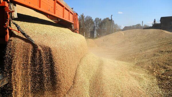 В США изменили прогноз по урожаю пшеницы в России