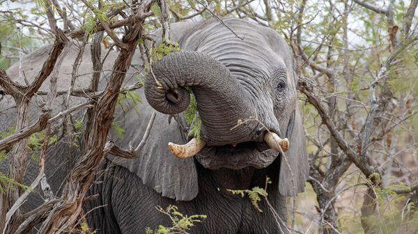 Слон ест плоды марулы в Национальном парке Крюгера в ЮАР