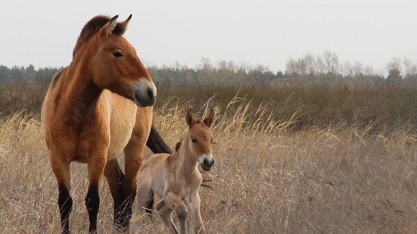 Жеребенок лошадей Пржевальского в сафари-парке Самарского зоопарка
