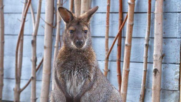 Детеныш кенгуру в Челябинском зоопарке