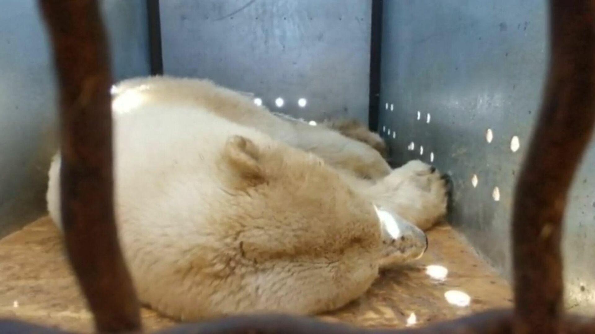 Медведица в транспортной клетке. Скриншот видеозаписи - РИА Новости, 1920, 22.05.2021