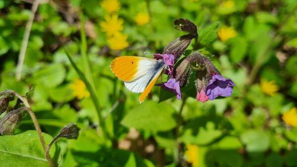 Краснокнижная бабочка зорька в природно-историческом парке Покровское-Стрешнево в Москве