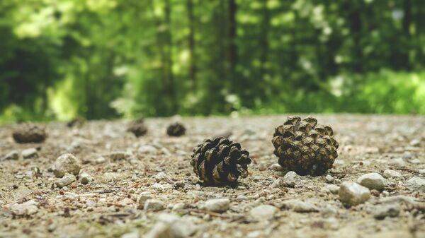 Сосновые шишки в лесу