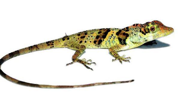 Ящерица  Anolis nemonteae