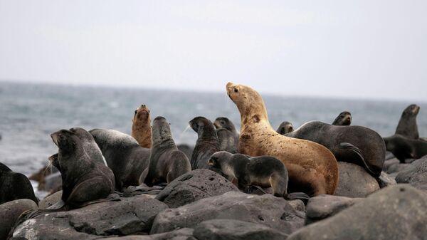 Морские котики отдыхают на северном берегу в Сент-Джордж, штат Аляска