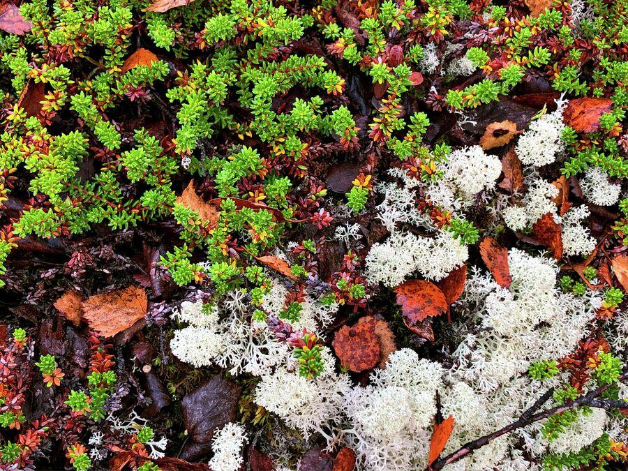 Несмотря на суровый климат, природа Мурманской области отличается разнообразием видов растений. Тундра — это царство мхов и лишайников