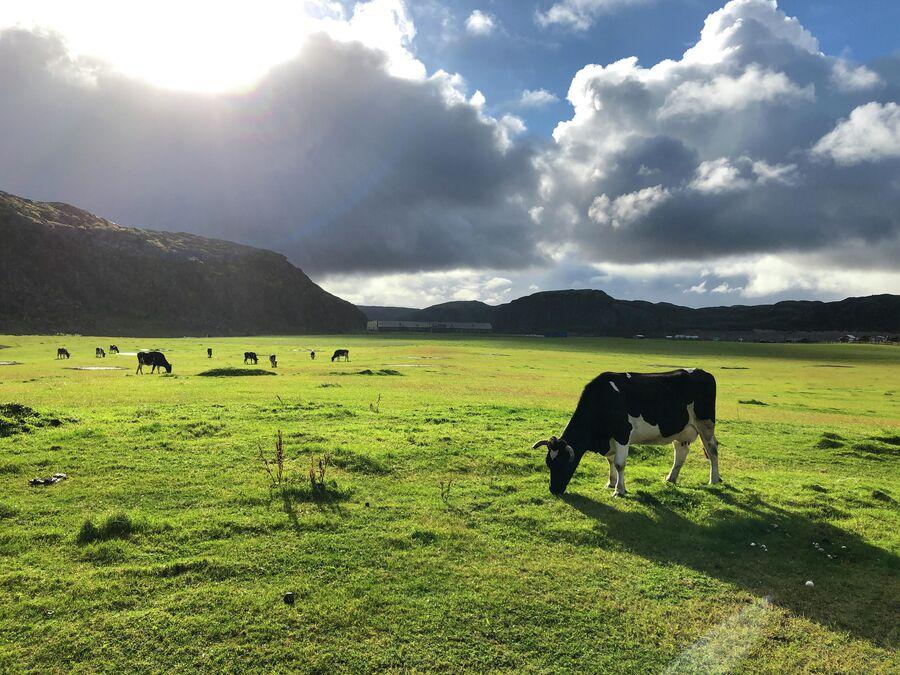 Коровы пасутся на пастбище рядом с селом Териберка