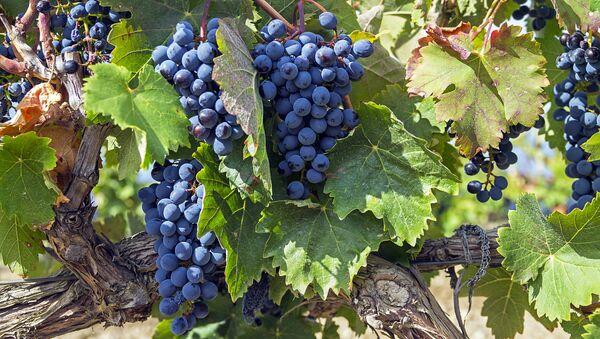 Созревший виноград в Крыму