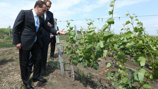 Дмитрий Медведев осматривает виноградники в Краснодарском крае