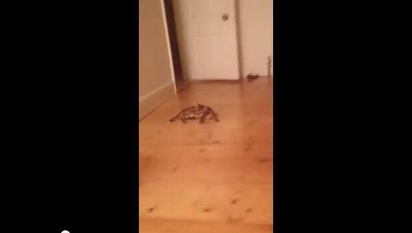 Кошачий керлинг