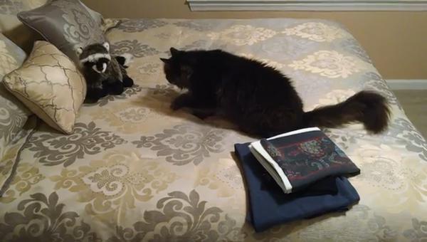 Кот и енот: друзья или враги?