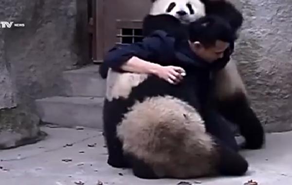 Можно ли заставить панду выпить лекарство