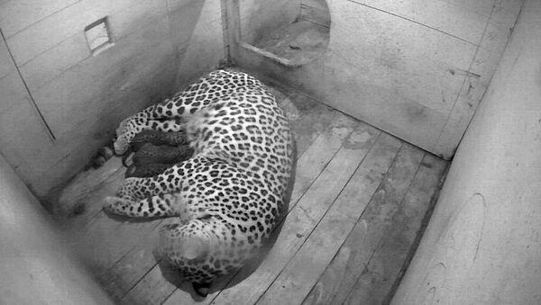Леопард Андреа родила троих котят