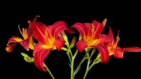 Прекрасный танец, или Как распускаются цветы