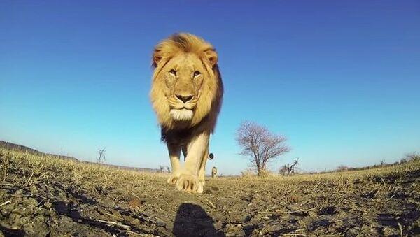 Мир глазами льва