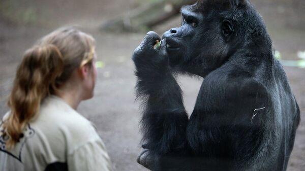 Горилла в зоопарке в Германии