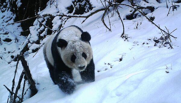 Панда в заповеднике Волун в зимний сезон