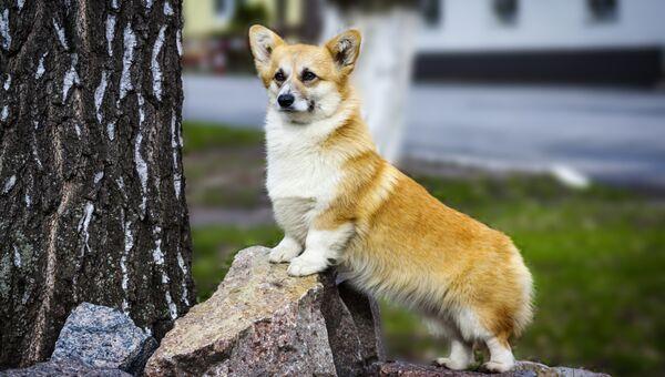 Собака породы вельш-корги пемброк. Архивное фото