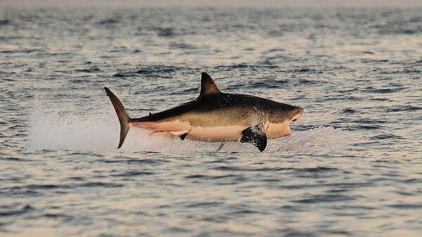 Большая белая акула во время охоты