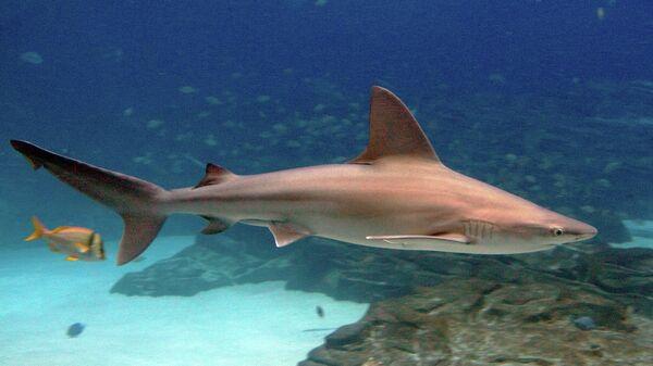 Серо-голубая акула