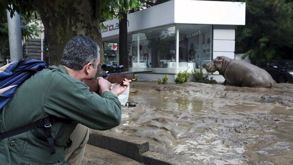 Наводнение в Тбилиси. Сбежавший из зоопарка бегемот