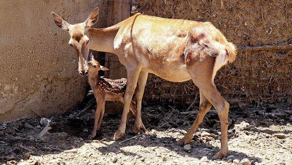 В пострадавшем от наводнения тбилисском зоопарке родился олененок
