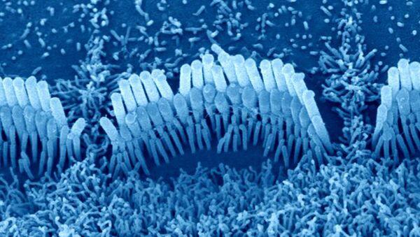 """Волосковые клетки на поверхности """"улитки"""" внутреннего уха"""