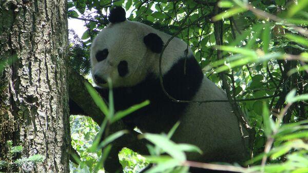 Панды оказались столь же экономичными, как и ленивцы
