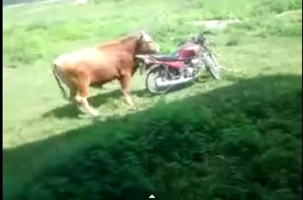 Бык-байкер
