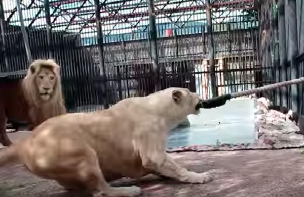 Как играют самые крупные кошки на свете