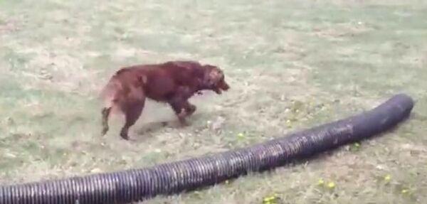 Собака и труба