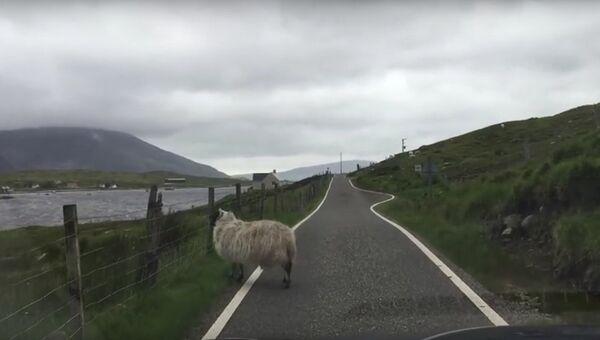 Смущенная овца