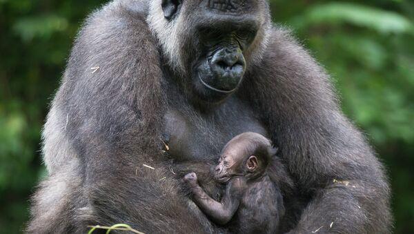 Горилла с детенышем в зоопарке города Цинциннати. Архивное фото