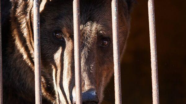 Спасенный во время наводнения из зоопарка медведь в импровизированном центре передержки в Уссурийске. Архивное фото