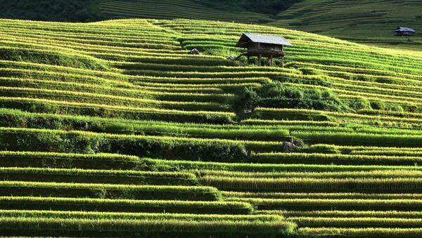 Рисовые поля во Вьетнаме. Сентябрь 2015. Архивное фото