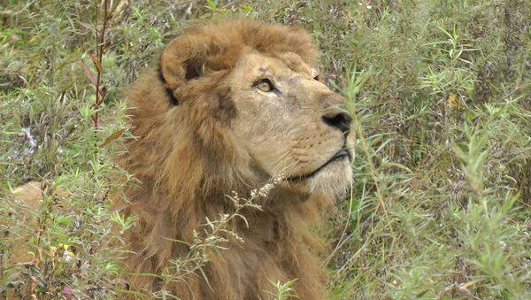 Цена жизни: как спасли и выходили льва из затопленного зоопарка в Уссурийске