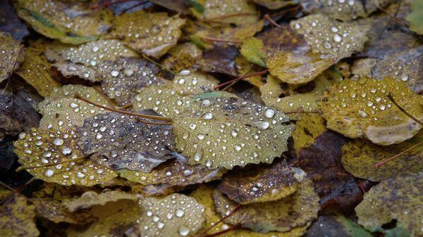 Опавшие листья после дождя