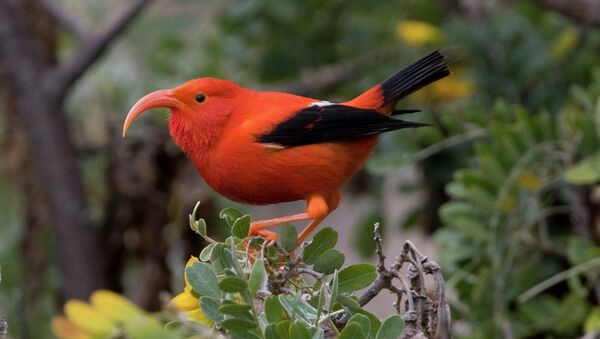 Птица иви, которой угрожает вымирание