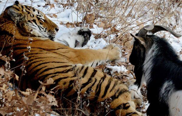 В Приморском Сафари-парке амурский тигр подружился с козлом
