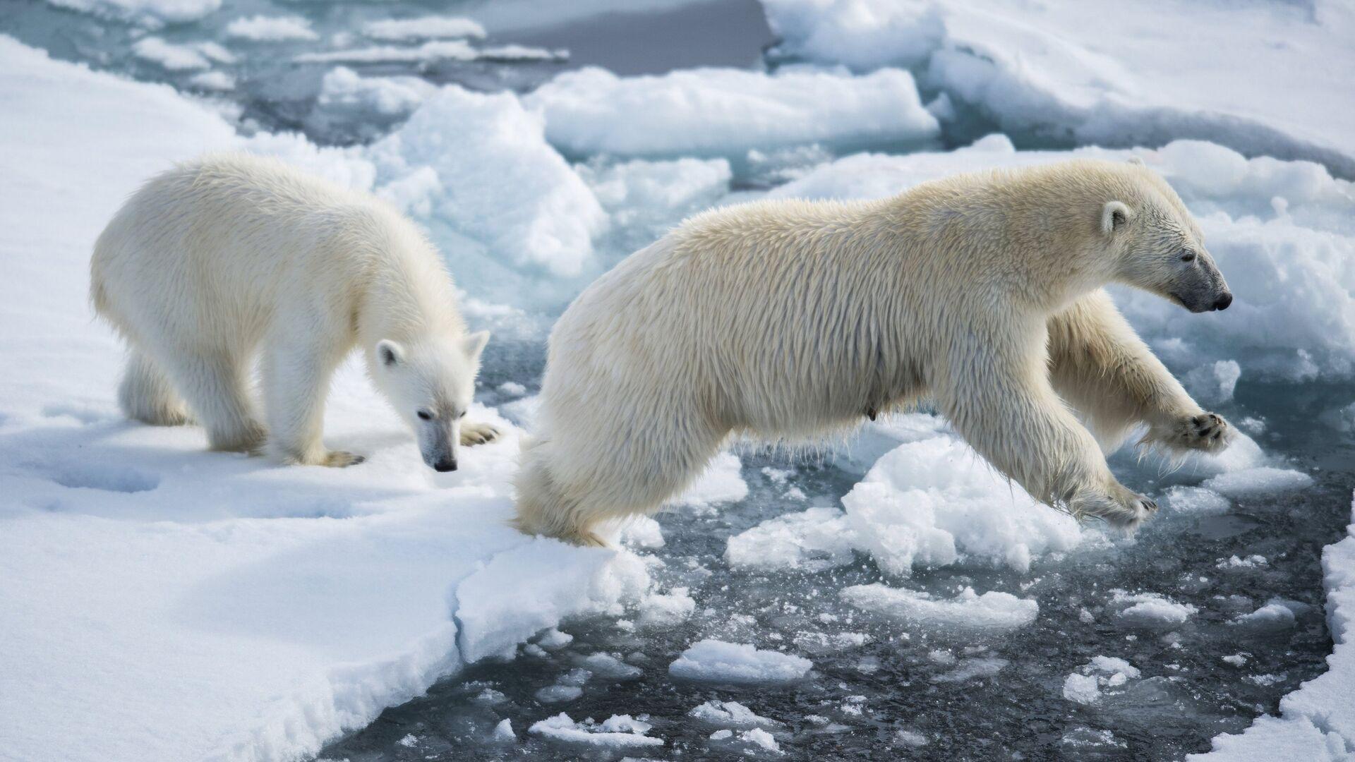 Белая медведица с медвежонком в районе архипелага Земля Франца Иосифа в Баренцевом море - РИА Новости, 1920, 30.07.2021