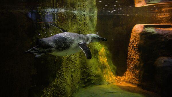Пингвин Гумбольдта в Московском зоопарке