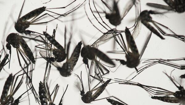 Комар Aedes albopictus - переносчик вируса Зика. Архивное фото