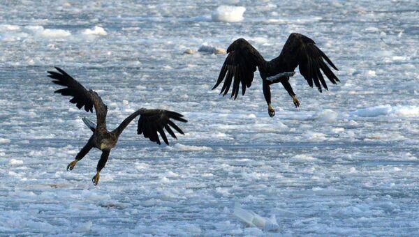 Краснокнижные орланы. Архивное фото