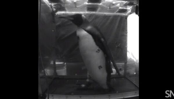 Пингвин-спортсмен