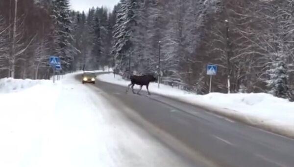 Законопослушный лось