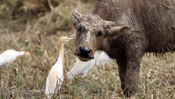 Дикий буйвол. Архивное фото